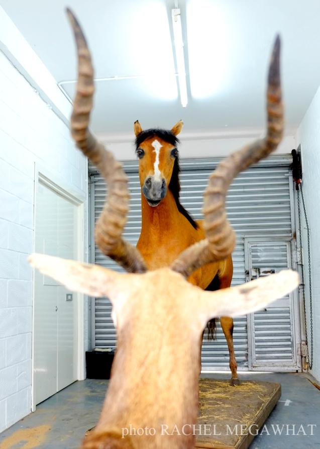 horse deer